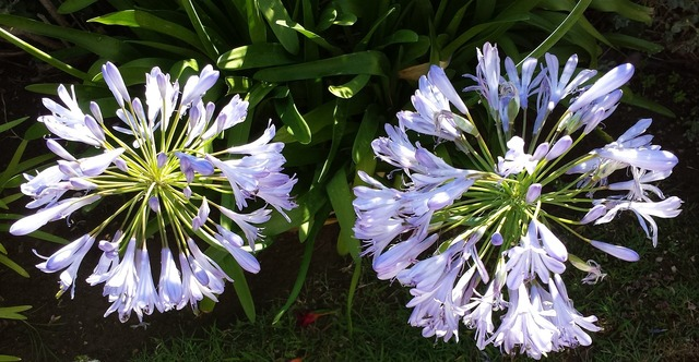 Lily of the nile agapanthus france, nature landscapes.