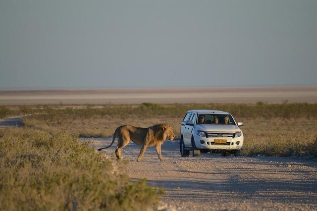 Lion africa namibia, animals.
