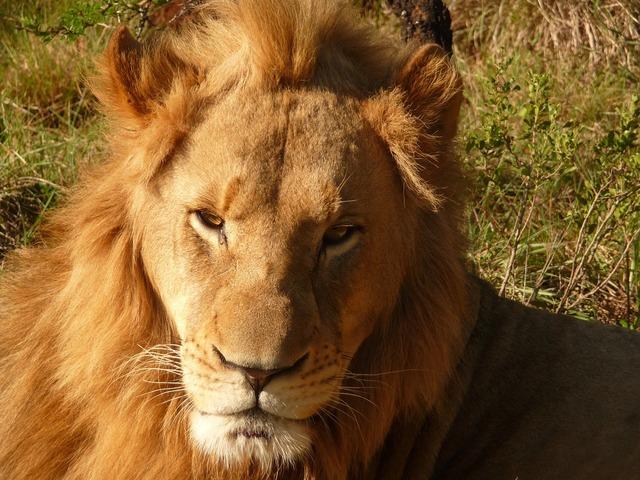 Lion africa safari, animals.