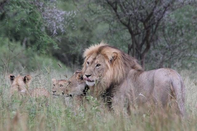 Lion africa tanzania, nature landscapes.