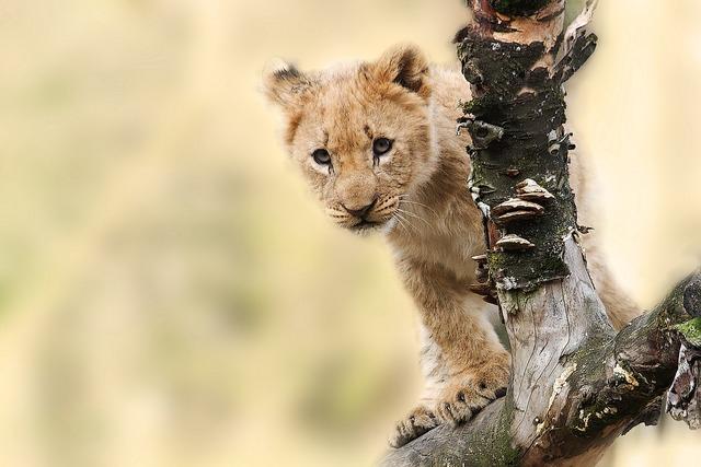 Lion animal nature, animals.