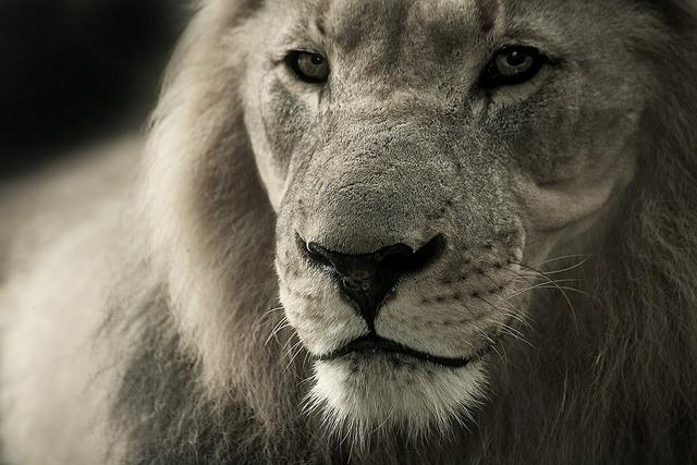 Lion animal portrait africa, animals.