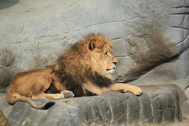 Lion animal zoo, animals.