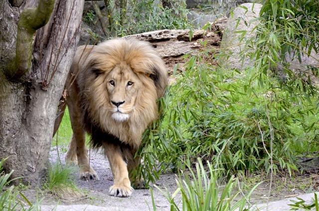 Lion cat large, animals.