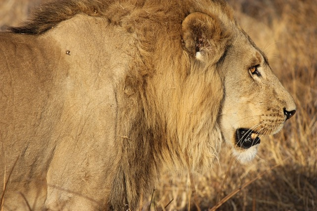 Lion king cat, animals.