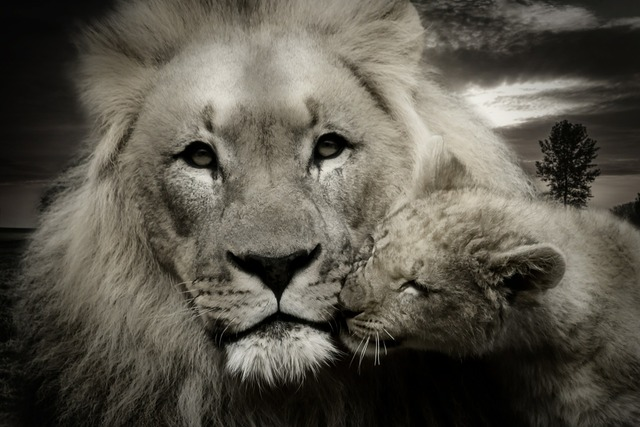 Lion lion cub young animal, animals.