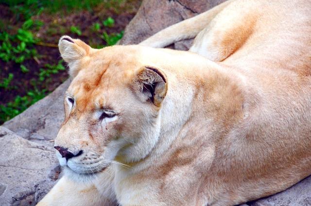 Lion lioness africa, animals.