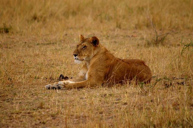 Lion lioness cat, animals.