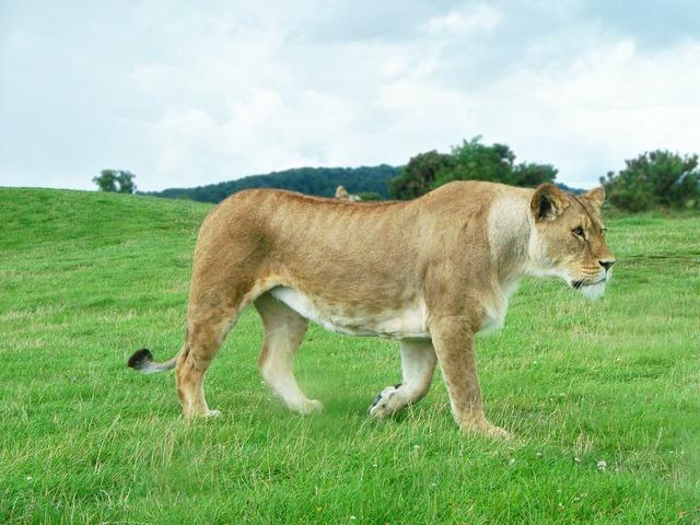 Lion lioness female, animals.