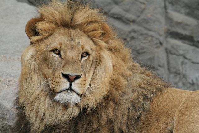 Lion lion's mane cat, animals.