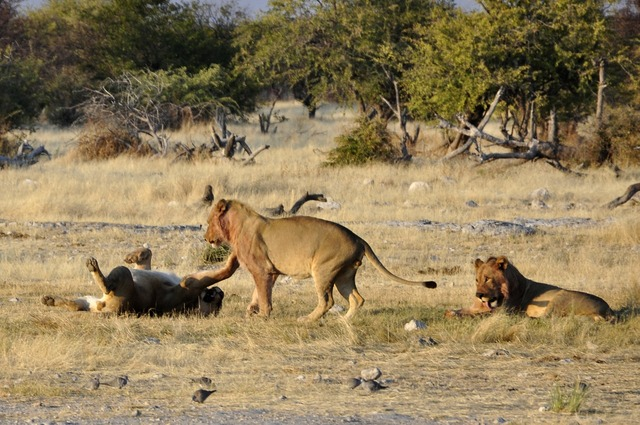 Lion play africa.