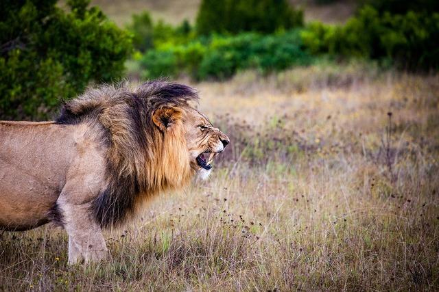 Lion predator big cat, animals.