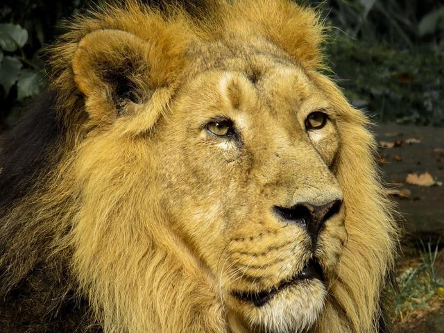 Lion predator cat, animals.