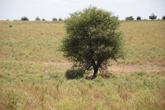 Lion savannah serengeti, nature landscapes.