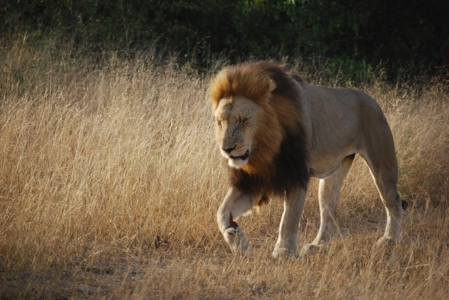 Lion south africa africa, animals.