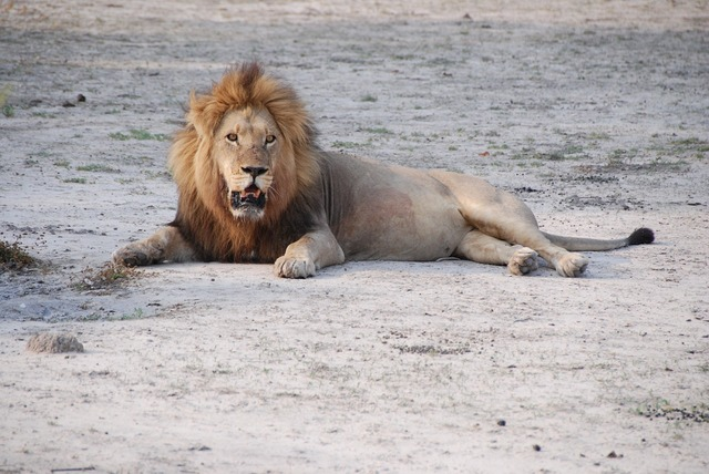 Lion south africa park.