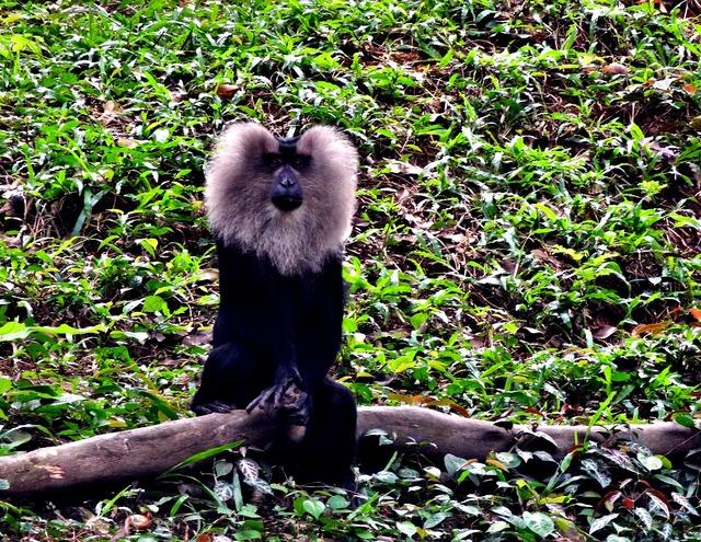 Lion tailedm macaque, nature landscapes.