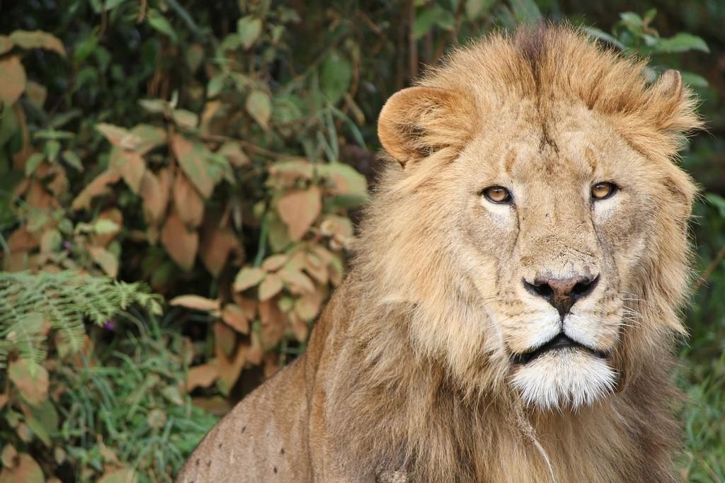 Lion tanzania africa, animals.