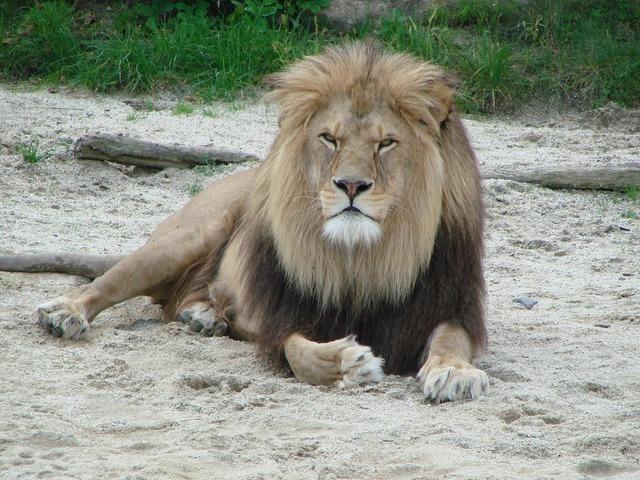 Lion wild animal predator.
