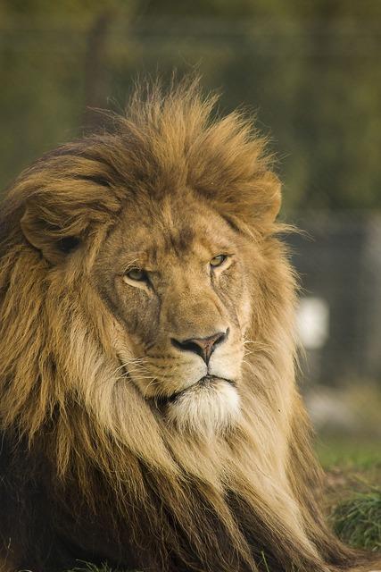 Lion wild cat, animals.