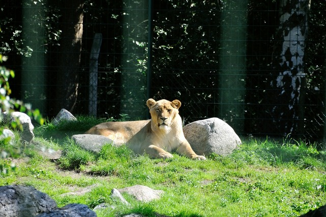 Lion wild zoo, animals.