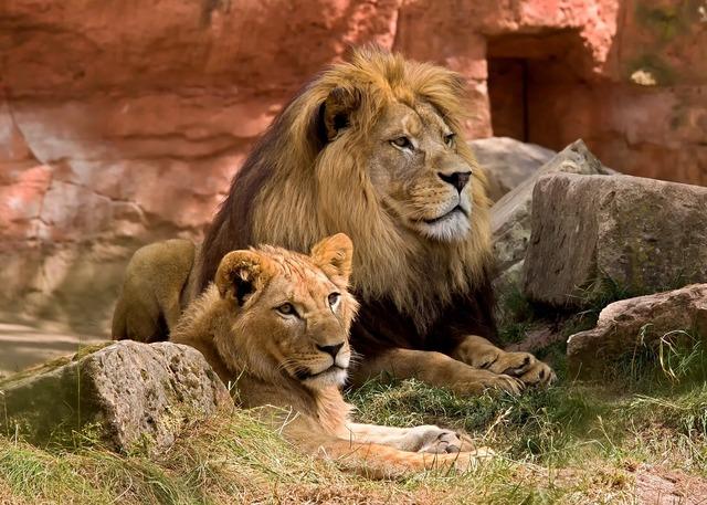 Lion wildlife predator, nature landscapes.