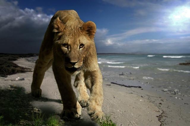 Lion young animal predator, animals.