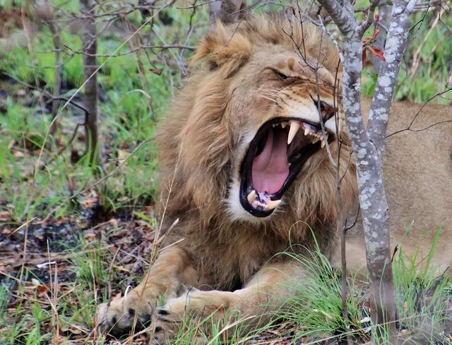 Lion young lion wild animal, animals.