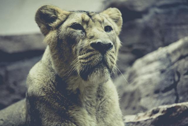 Lion zoo predator, animals.
