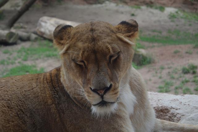 Lioness lion predator, animals.