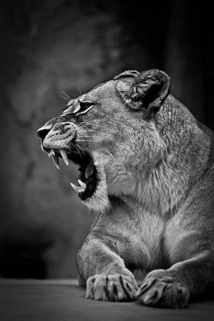 Lioness predator cat, animals.