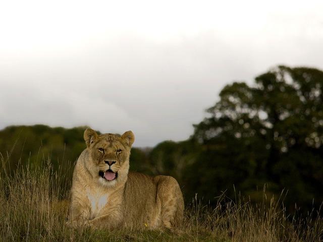 Lioness wild cat, animals.