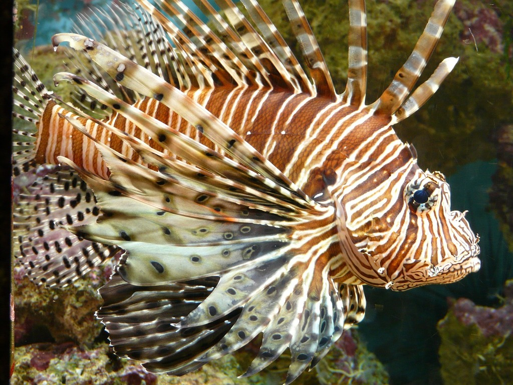 Lionfish fish pacific rotfeuerfisch.
