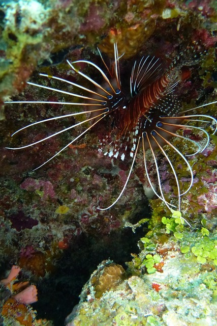 Lionfish pacific rotfeuerfisch beautiful.