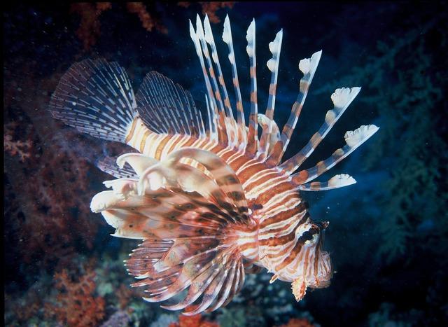 Lionfish tropical venomous.