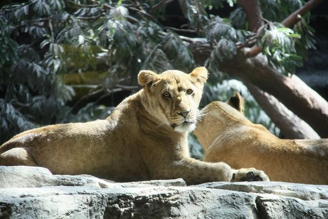 Lions usa mgm.