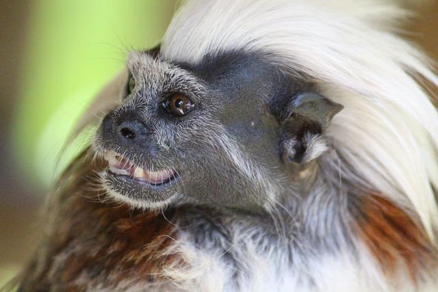 Liszt äffchen monkey animal, animals.