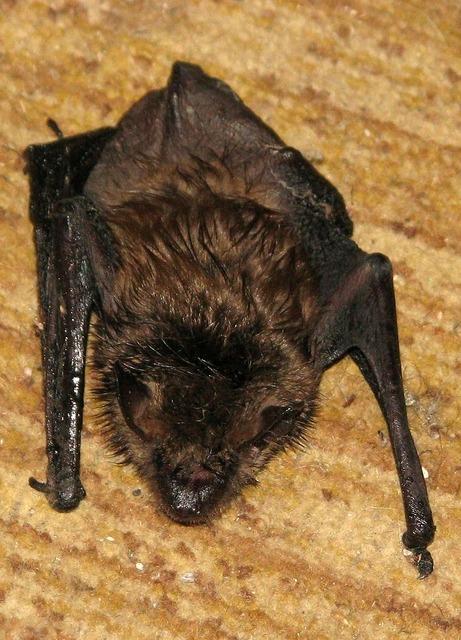 Little brown bat little brown myotis myotis lucifugus.