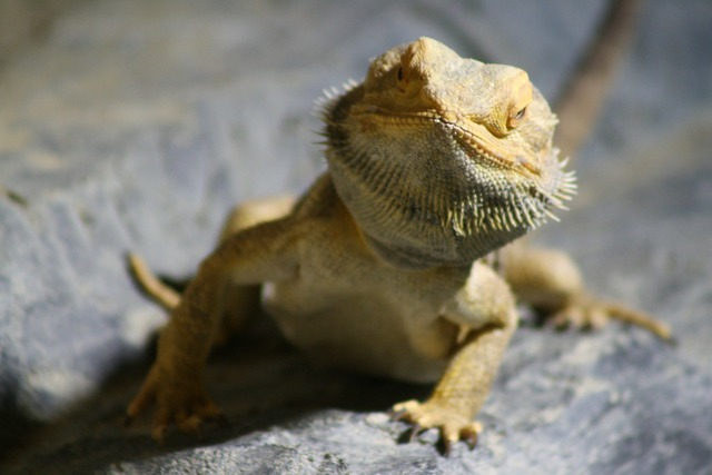 Lizard curious reptile.