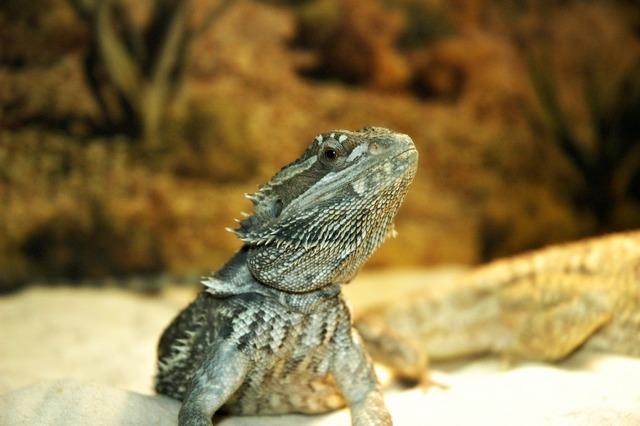 Lizard pet dragon, animals.