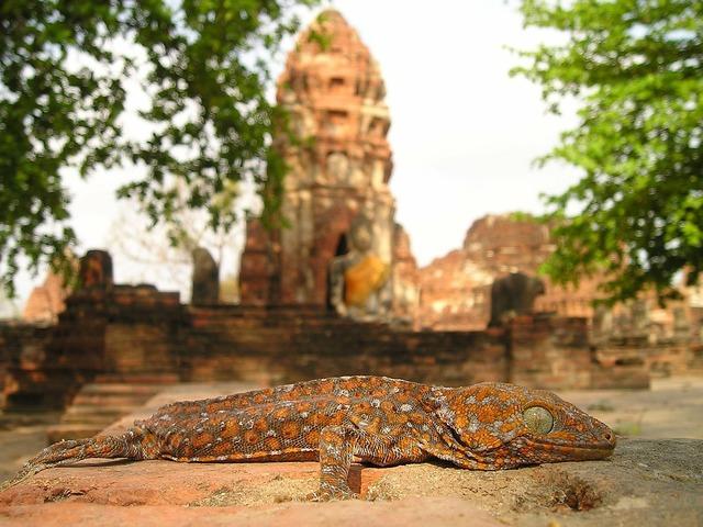 Lizard reptile temple, religion.