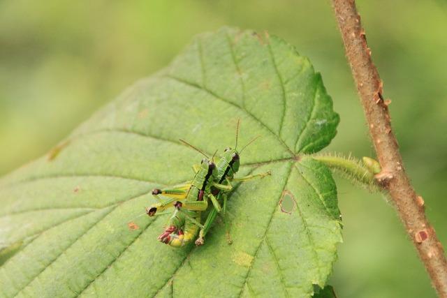 Locusts copulating copulation, emotions.