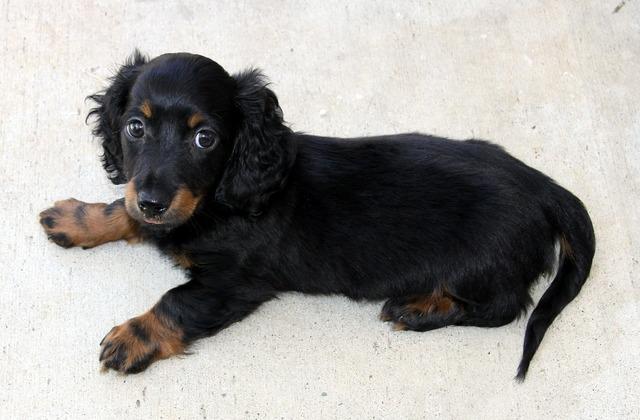 Long hair dachshund puppy, animals.