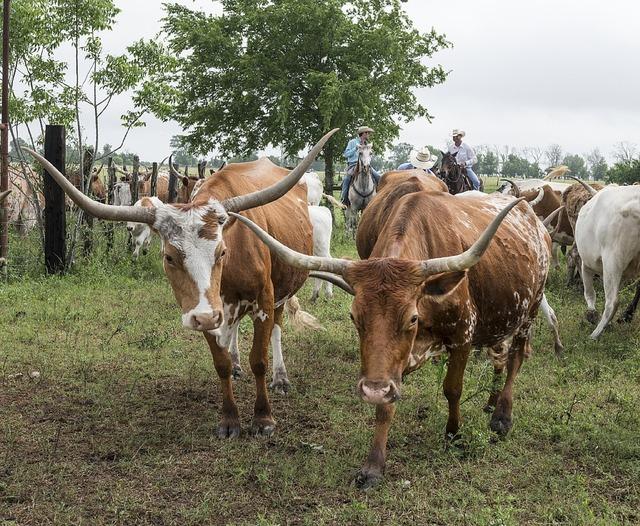 Longhorn cattle ranch livestock, animals.
