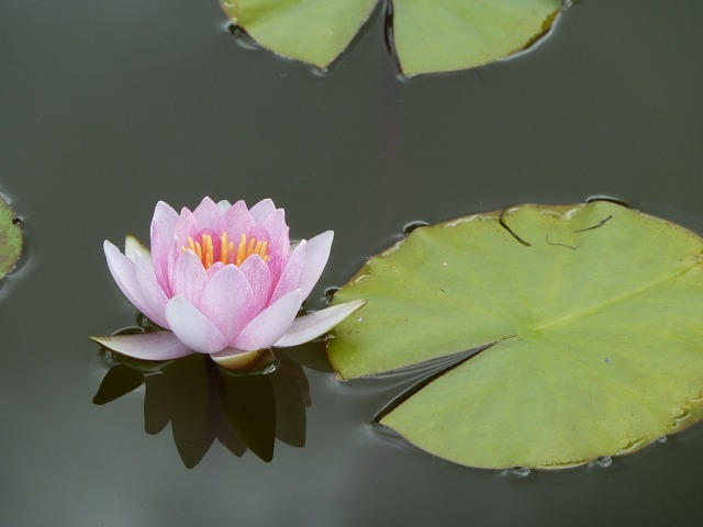 Lotus aquatic plant plant, nature landscapes.