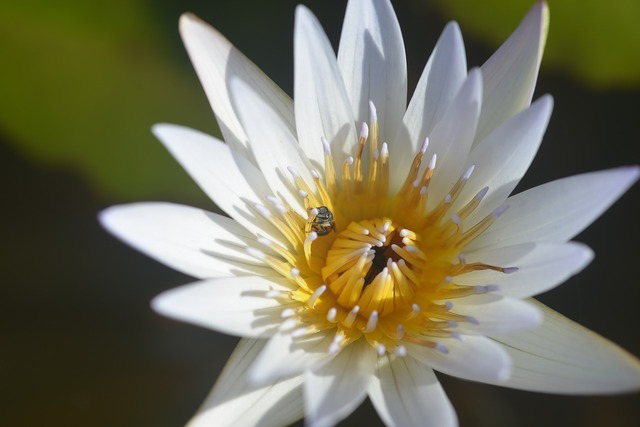 Lotus bee insects.
