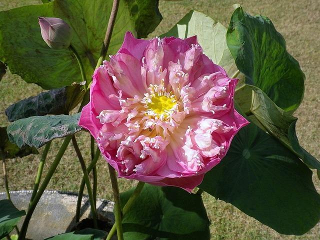 Lotus blossom bloom.