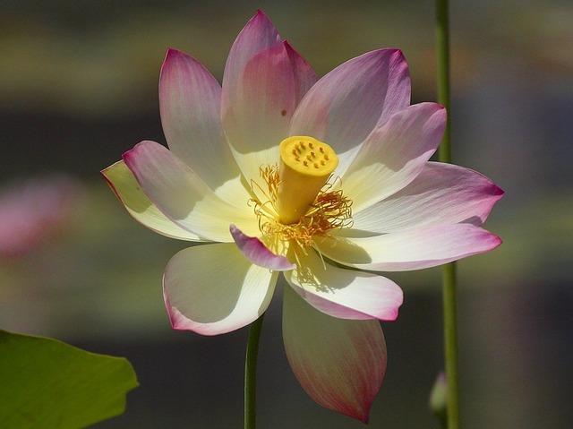 Lotus blossom flower nature, nature landscapes.