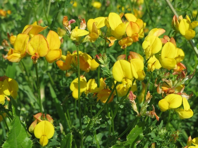 Lotus corniculatus common bird's-foot trefoil bird's-foot trefoil, nature landscapes.