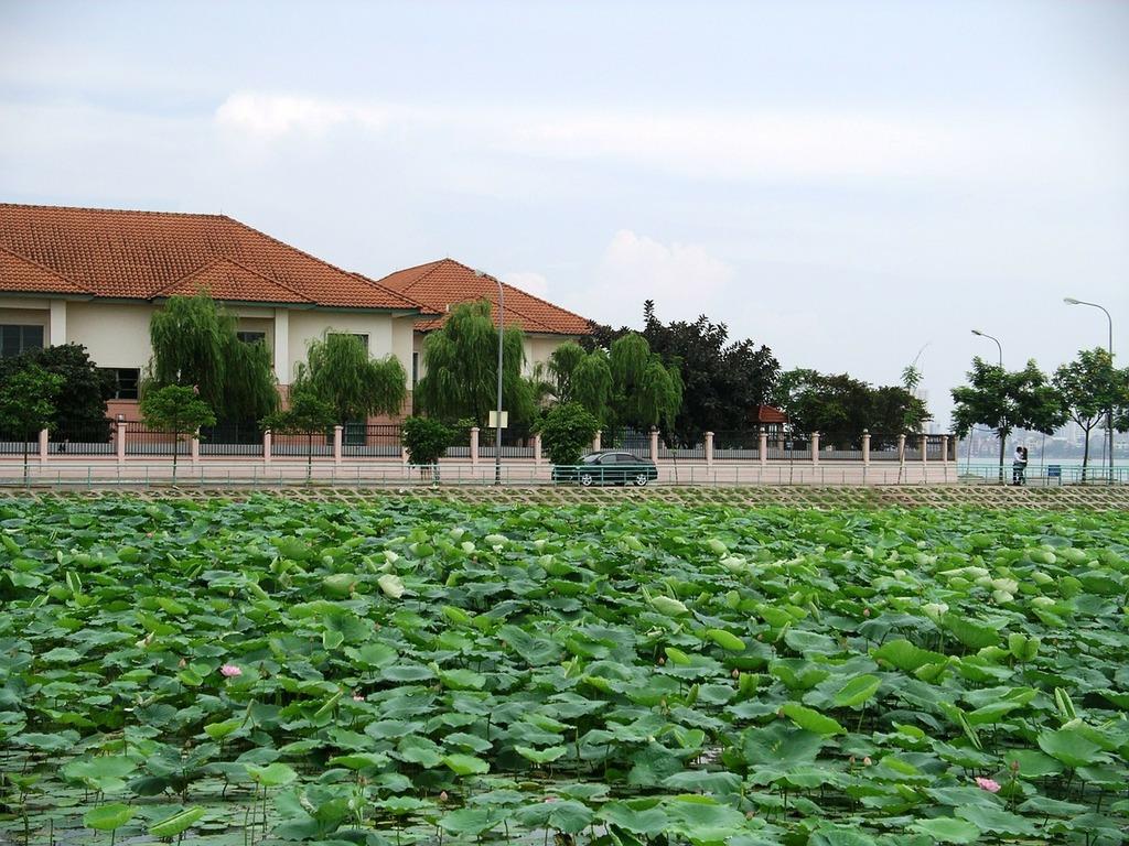 Lotus field lotus blossom, transportation traffic.